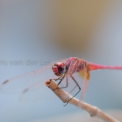 True Love #dragonfly #iran #vliegwerk #kalootdessert 4608-170501