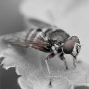soar-brown-fly-1309-1240-ketliker-schar